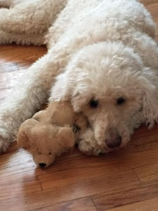 Poodle with favorite toy
